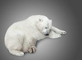One polar bear cubs sleep over gray background Stock Photography