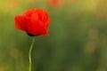 One Poppy Flower On Green Back...