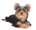 One puppy of the yorkshire terrier on white background Stock Photo