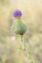 One purple thistle flower Royalty Free Stock Photo