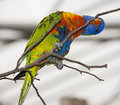 One rainbow lorikeet parrot on a branch Stock Photography