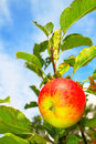One red apple Stock Photography