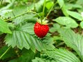 One red berry of wild strawberry on a background of green leaves Royalty Free Stock Photo