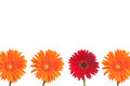 One red daisy stands out three orange daisies white background Stock Photography