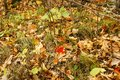 One red maple leaf on the ground with brown leave, green leaves, twigs, and grass in Kathio State Park, Minnesota Royalty Free Stock Photo