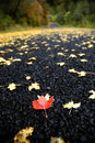 One Red Maple Leaf on Road Stock Photography