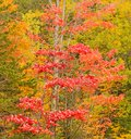 One red maple tree in Autumn Royalty Free Stock Photo