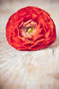 One red orange buttercup flower on an old wooden board close up macro Royalty Free Stock Photos