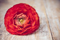 One red orange buttercup flower on an old wooden board close up macro Royalty Free Stock Photo