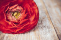One red orange buttercup flower on an old wooden board close up macro Royalty Free Stock Images