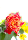 One red orange roses with green leaves top place for the signature on a background of yellow flowers photography at close range Royalty Free Stock Image