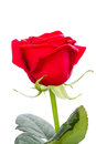 One red rose isolated on white background Royalty Free Stock Images