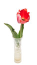 One red tulip isolated on white copy space for your text Royalty Free Stock Photography