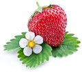 One rich strawberry fruit with flower isolated on a white background Royalty Free Stock Image