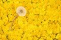 One ripe white dandelion on yellow Royalty Free Stock Photo