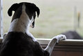 One sad dog standing looking out open window a cute emotional portrait of a boxer breed on her hind legs with her front paws up on Stock Photo