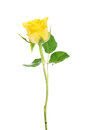 One separated yellow rose isolated on white Stock Photo
