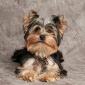 One shaggy puppy of the yorkshire terrier on textile background Stock Photography