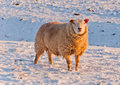 One sheep in a snowy Dutch field Royalty Free Stock Images