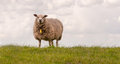 One sheep standing on a dike Royalty Free Stock Photo