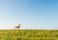 One sheep on the top of the dike Royalty Free Stock Photo