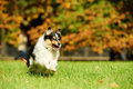 One Shetland Sheepdog Dog Royalty Free Stock Photography