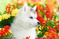 One Siberian husky puppy in flowers Royalty Free Stock Image