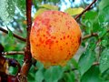 One single ripe orange apricot with water drops after rain. Royalty Free Stock Photo