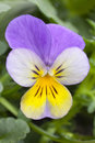 One single Viola cornuta tricolor Royalty Free Stock Images