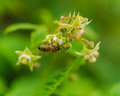 One small bee pollination flower on raspberry cane a with copy space place Stock Photos