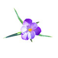 One small crocus flower with leafs Royalty Free Stock Photo