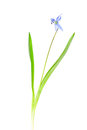One snowdrop blue isolated on a white background Stock Image