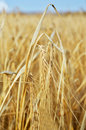 One spica in yellow wheat field russia Stock Images