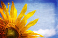 Sunflower sunny banner Royalty Free Stock Photo