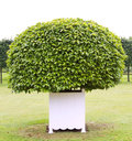 One topiary tree Royalty Free Stock Photo