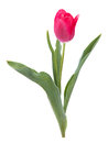 One tulip on white Royalty Free Stock Photo