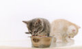 One of two adorable furry kitten eating cat food from the bowl Royalty Free Stock Photo