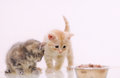 One of two adorable furry kitten observing cat food from the bow Royalty Free Stock Photo
