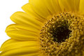 One Vibrant bright yellow gerbera daisy flower blooming Royalty Free Stock Photo