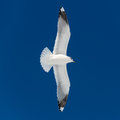 One white bird flies Royalty Free Stock Image