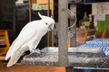 One white cockatoo parrot sitting on a metal trough a pet bird with yellow crest lives in captivity the sits leash pets at home Royalty Free Stock Photos