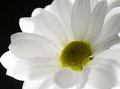 One white flower on black background Royalty Free Stock Photography