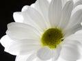 One White Flower On Black Back...
