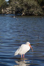 One white ibis standing in shallow water Royalty Free Stock Photo