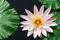 One white water lily Stock Photo