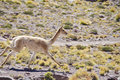 One Wild Vicunas Running Stock Photo