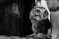 One wing left owl Royalty Free Stock Photo