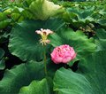 Withered lotus and blooming lotus