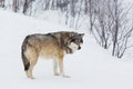 One wolf alone in the snow norwegian winter forest snowing Royalty Free Stock Photo