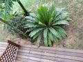 Bird`s nest fern Asplenium Nidus